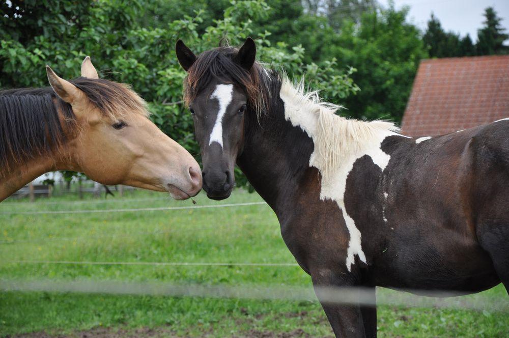 Schecke Pferd