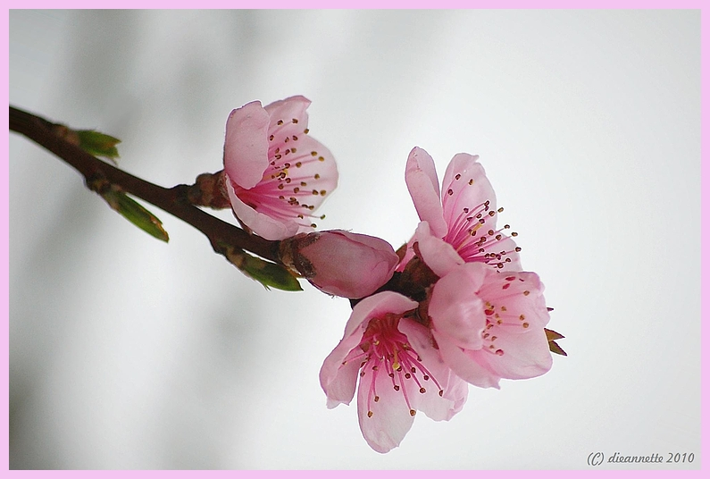 Mein Pfirsichbaum.....