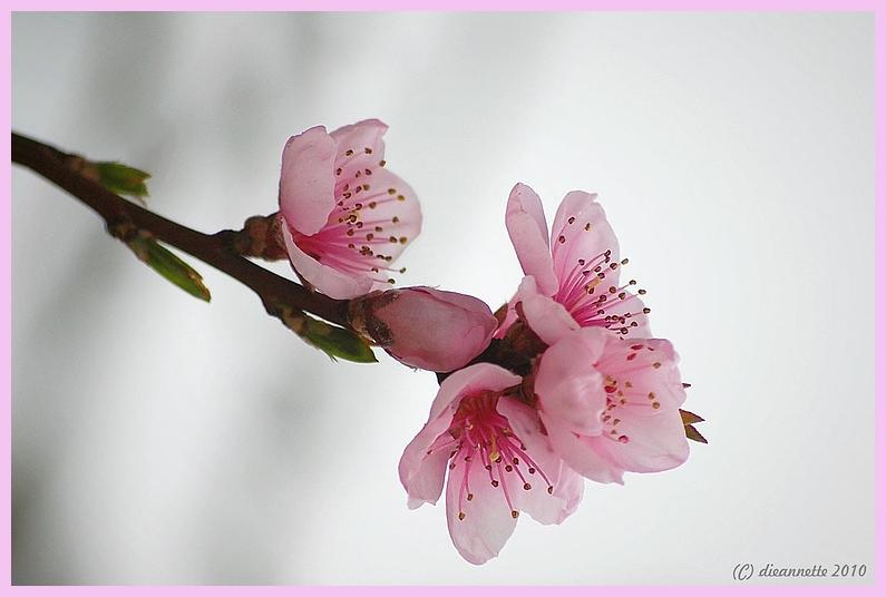 mein pfirsichbaum foto bild pflanzen pilze. Black Bedroom Furniture Sets. Home Design Ideas