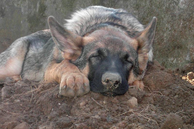 Mein Schäferschweinchen