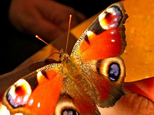 mein Schmetterling beim Füttern