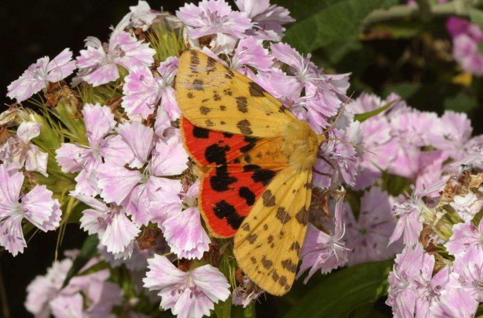 Mein Schmetterling der Woche.
