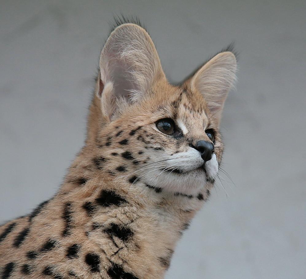 mein serval shakira