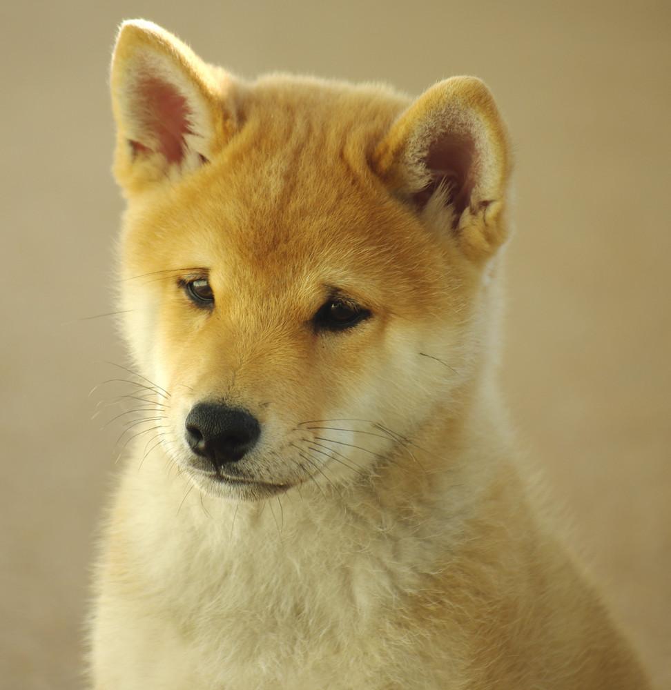 Mein Shiba Inu