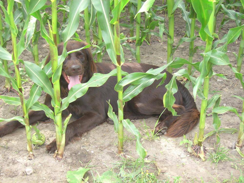 Mein Versteck im Mais