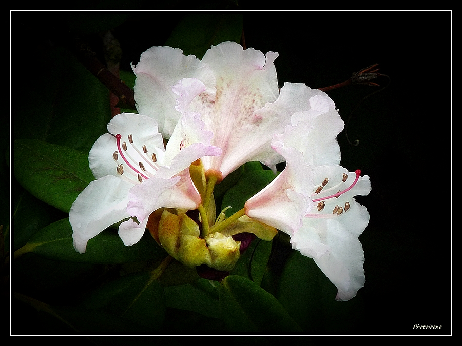 mein weißer Rhododendren