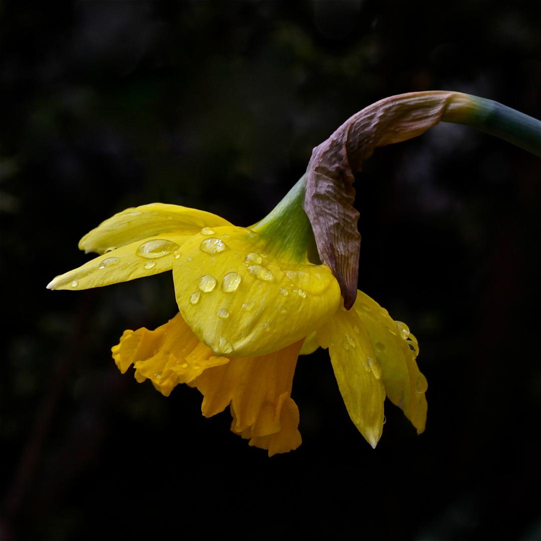 Mein Wochenendblümchen für die fc - leider wieder im Regen . . .
