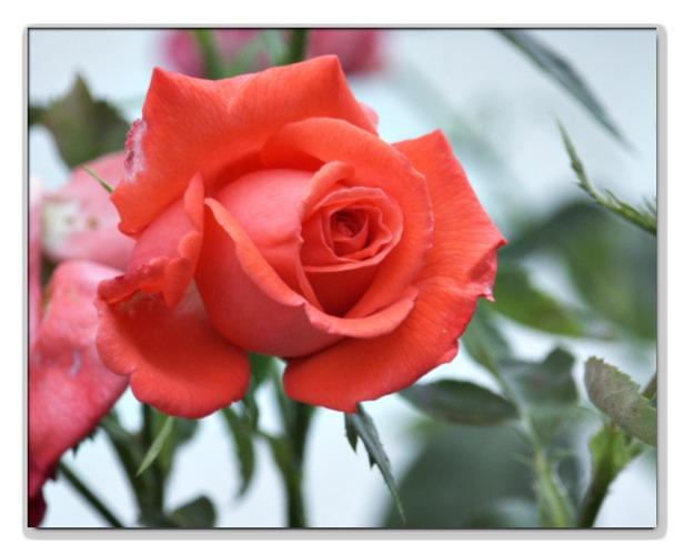 Meine 1. Rose