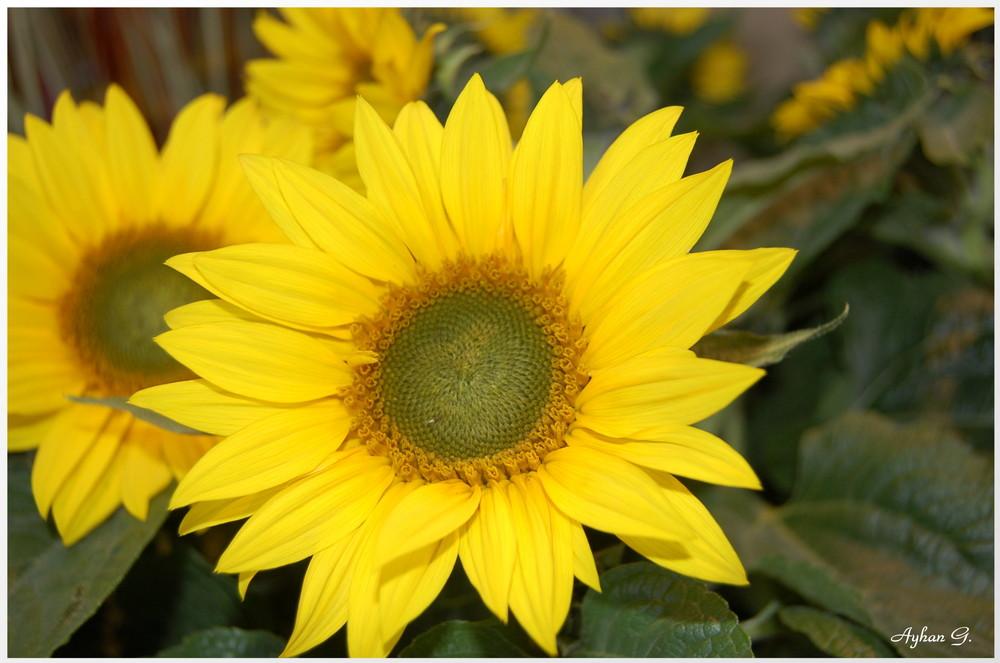 Meine 1. Sonnenblume pflanze 2008