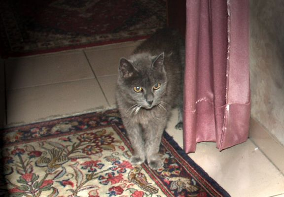 Meine 18-jährige Kartheuser-Katze