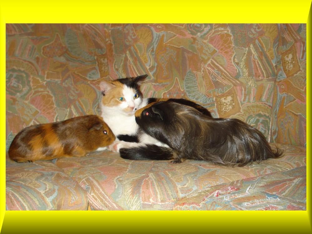 meine 2. Katze und meine Meerschweine