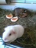 Meine 2 Süßen Meerschweinchen!