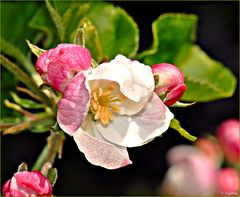 Meine Apfelbäumchen blühen