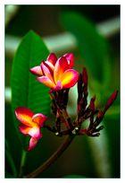 Meine asiatische Lieblingsblüte #2