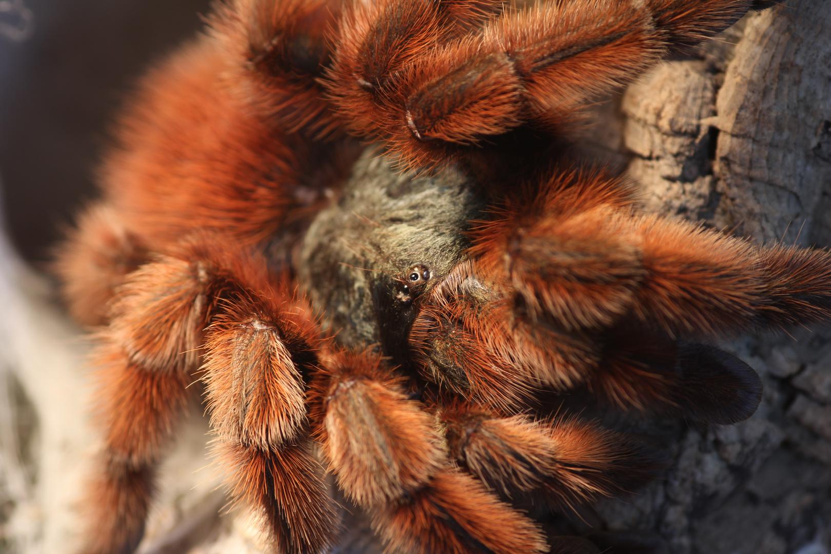Meine Avicularia Versicolor