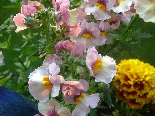 Meine Balkonblumen