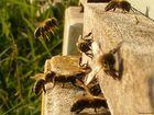Meine Bienen
