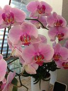 Meine blühende Orchidee