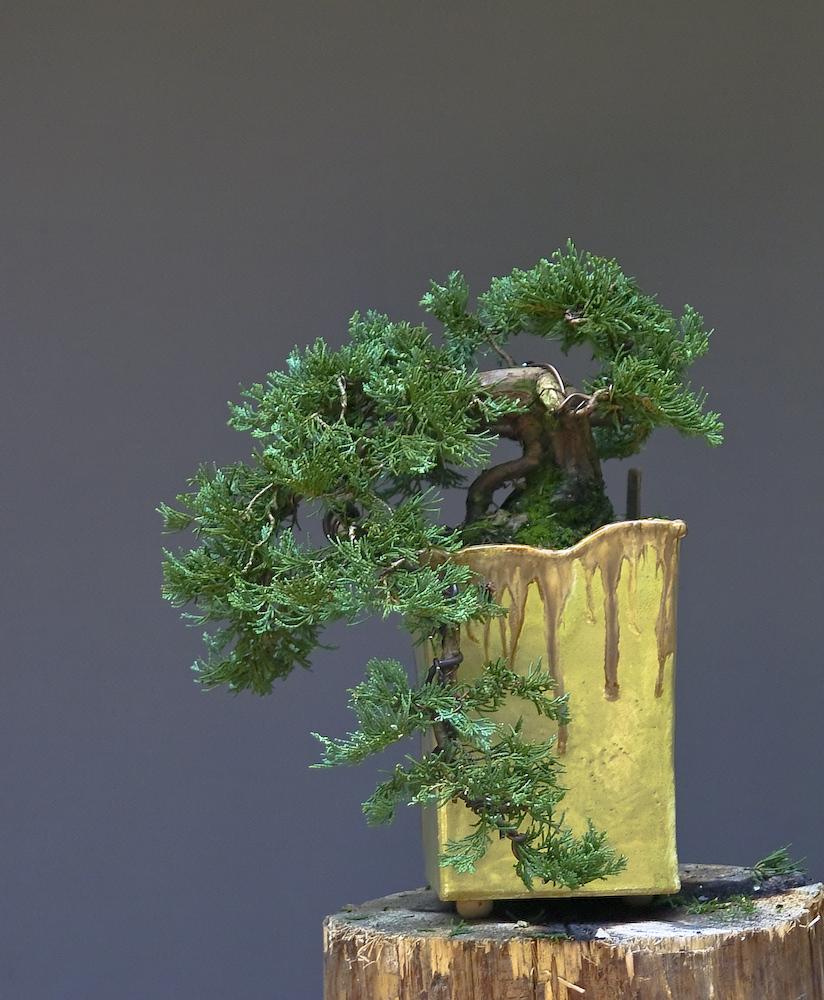 meine bonsai kaskade ca 40 j hrig foto bild pflanzen. Black Bedroom Furniture Sets. Home Design Ideas