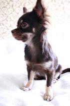 Meine Chihuahua Hündin