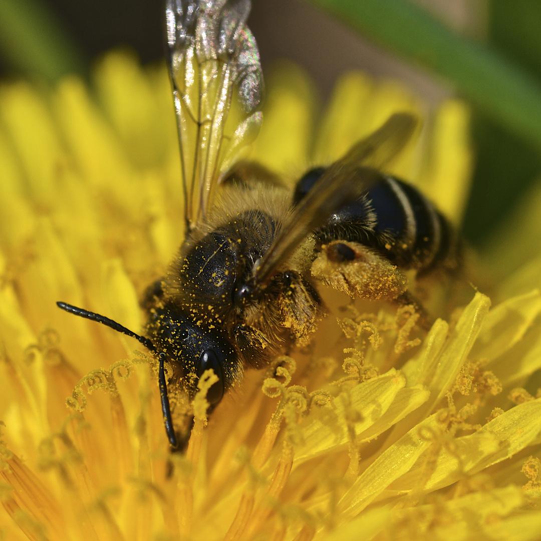 Meine erste Biene 2013