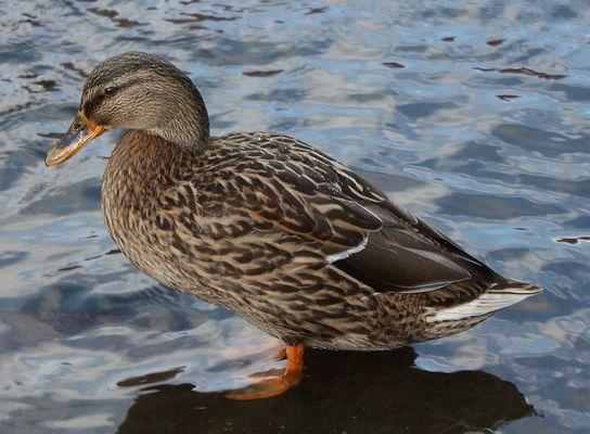 Meine erste Ente :-)