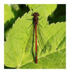 meine erste Libelle 2010