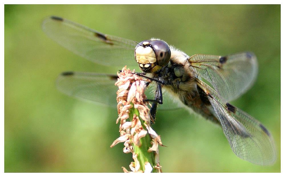 Meine erste Libelle !!!