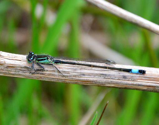 #...Meine erste Libelle......#