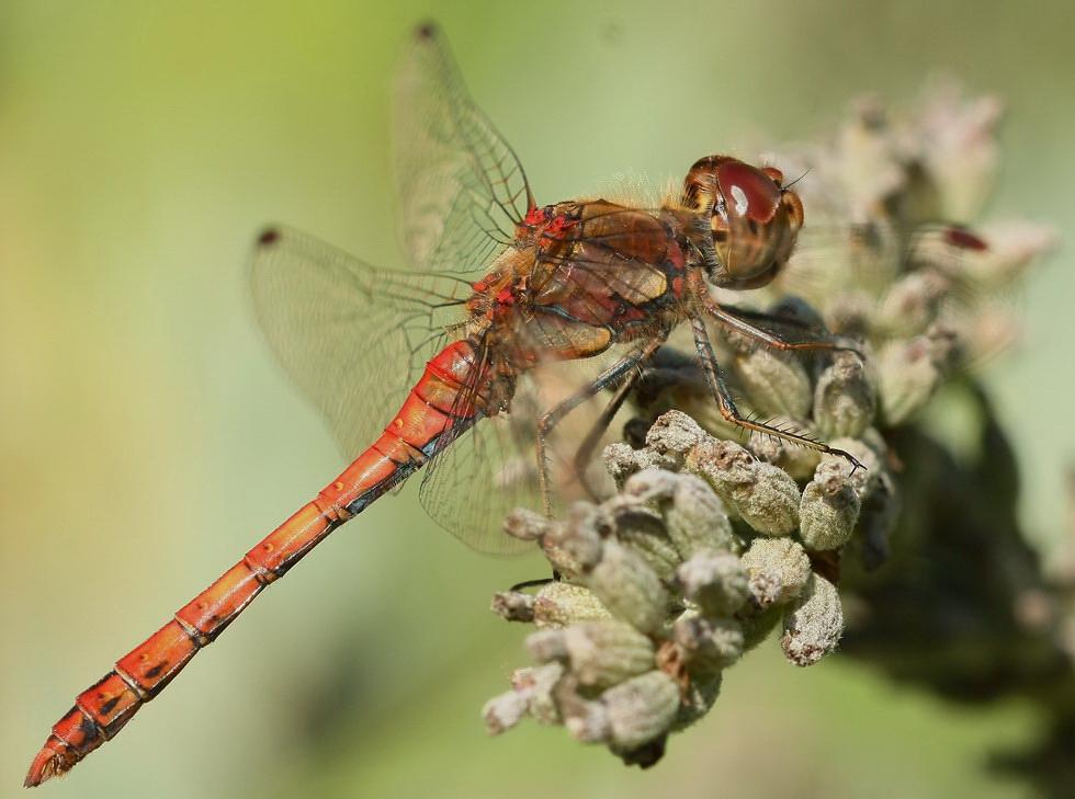Meine erste Libelle*