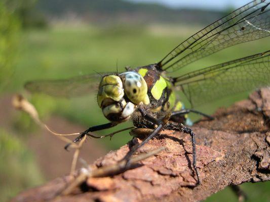 Meine erste Libelle...