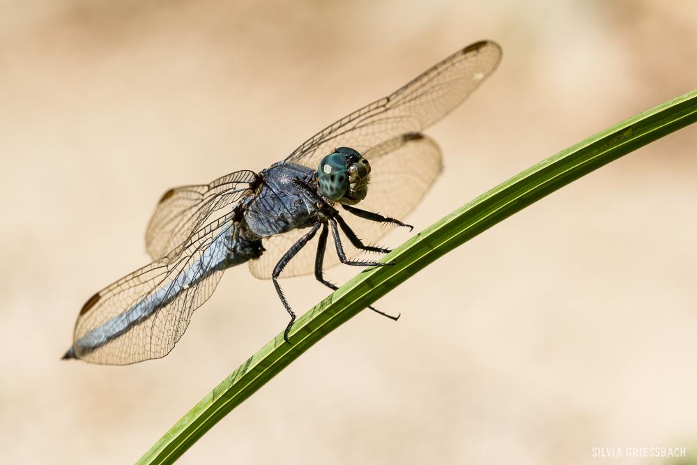 meine erste Libelle :)) freu