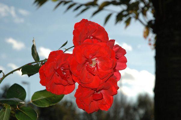 Meine erste Rose