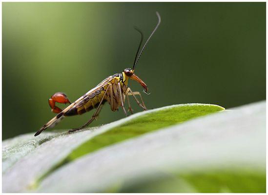 meine erste Skorpionfliege