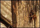 Meine erste Wespe dieses Jahr