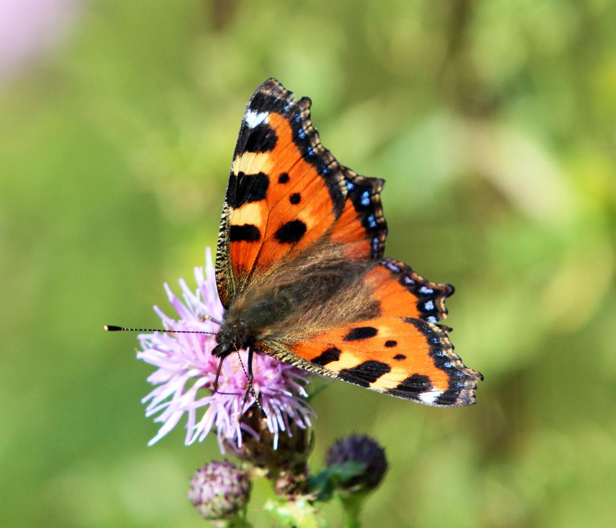 Meine ersten Schmetterlingsfotos