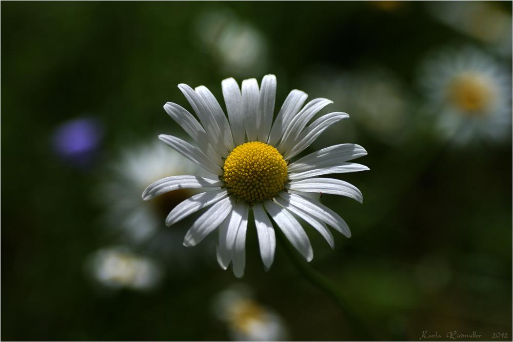 .. meine Frühlingswiese (3) ....