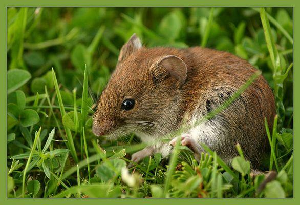 Meine Garten-Maus