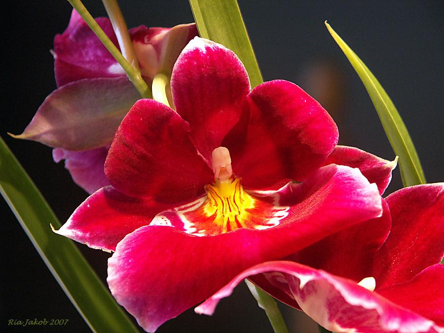 meine geburtstagsorchidee