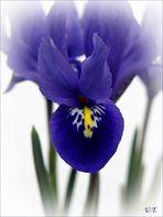 Meine Iris für Euch