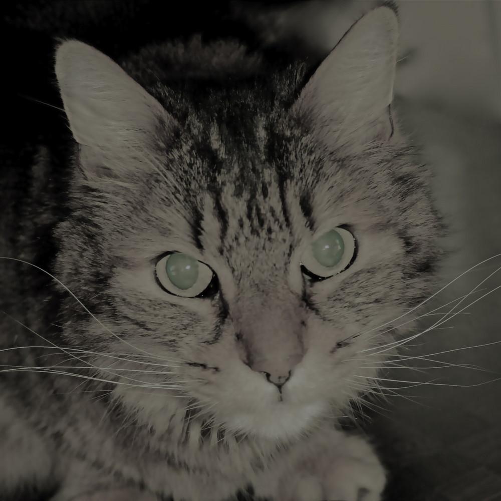 meine Katze bearbeitet mit i-Photo
