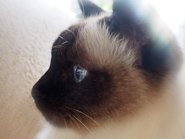 meine Katze birmanian