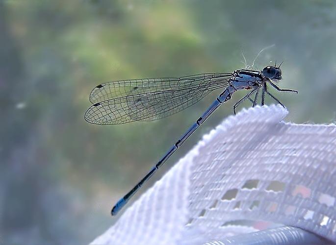Meine kleine Libelle