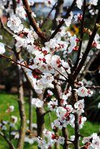 Meine kleine Schwäche: Kirschblüten.
