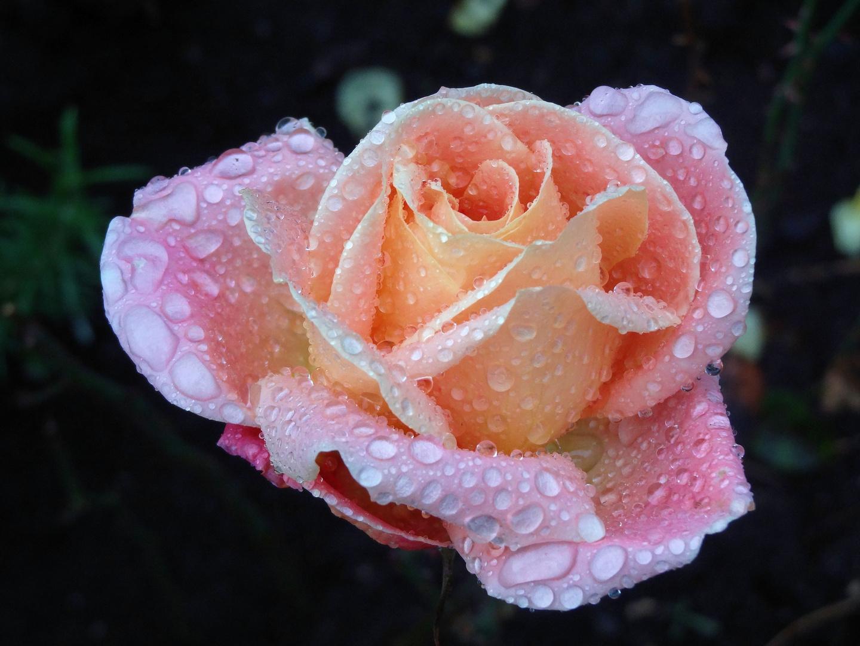 meine letzte rose - ende november
