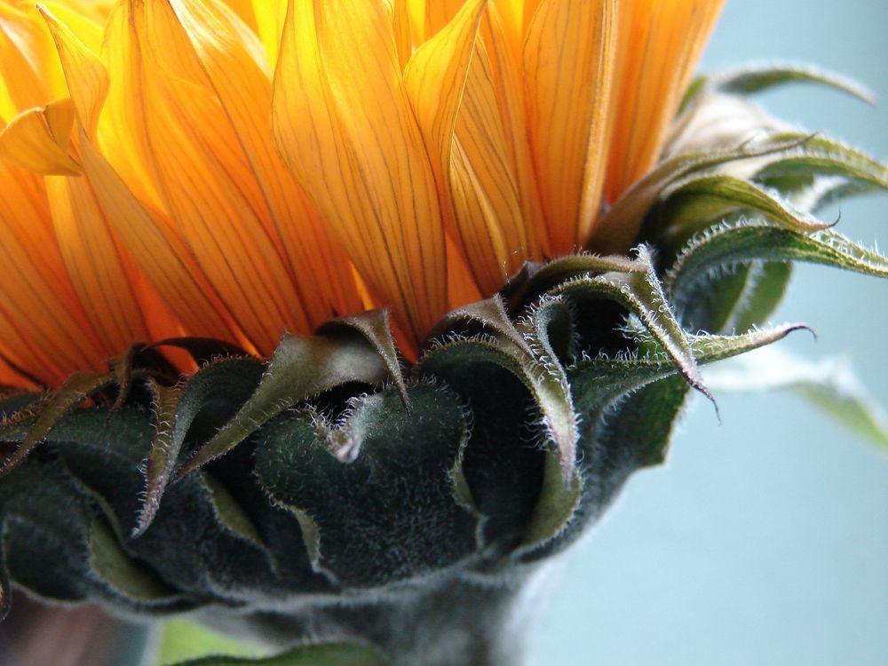 meine letzte Sonnenblume
