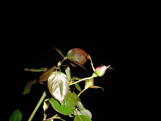 Meine letzten Rosen