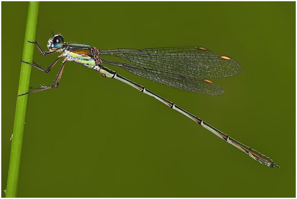 'Meine' Libelle ;)