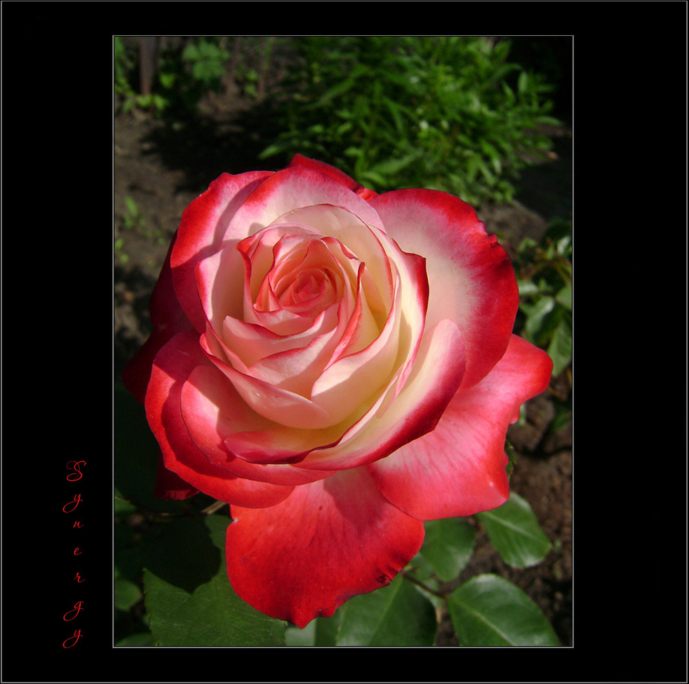 meine liebe foto bild pflanzen pilze flechten bl ten kleinpflanzen rosen bilder auf. Black Bedroom Furniture Sets. Home Design Ideas