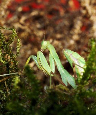 Meine liebe Mantis...